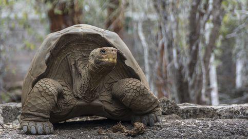 Una especie de tortuga podría recuperarse en las Galápagos después de 150 años extinta