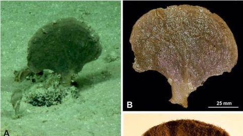 Encuentran cuatro nuevas especies y dos géneros en el fondo del Océano Pacífico
