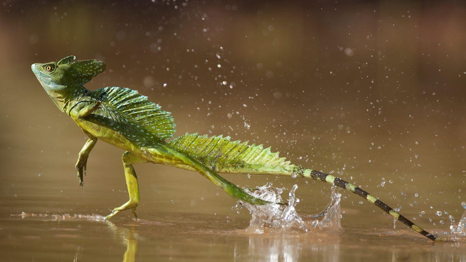 Animales Como Jesucristo Pero Demostrado Por La Ciencia Asi Se Camina Sobre El Agua