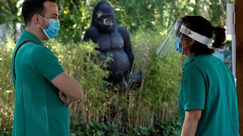 Un gorila del Zoo de Madrid hiere de gravedad a su cuidadora