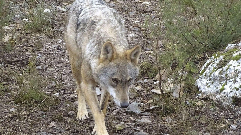 Fotografía facilitada por la Junta de Castilla y León de la loba 'Dakota'. (EFE)