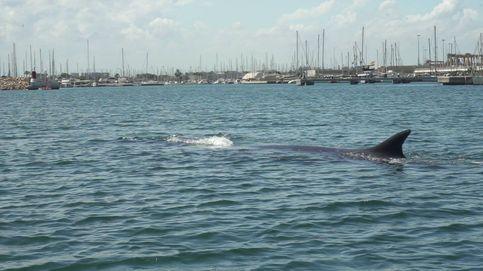 Liberan a una ballena atrapada en el Real Club Náutico de Valencia