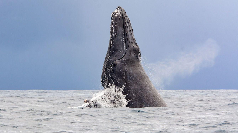 Un buceador sobrevive tras ser engullido y escupido por una ballena jorobada