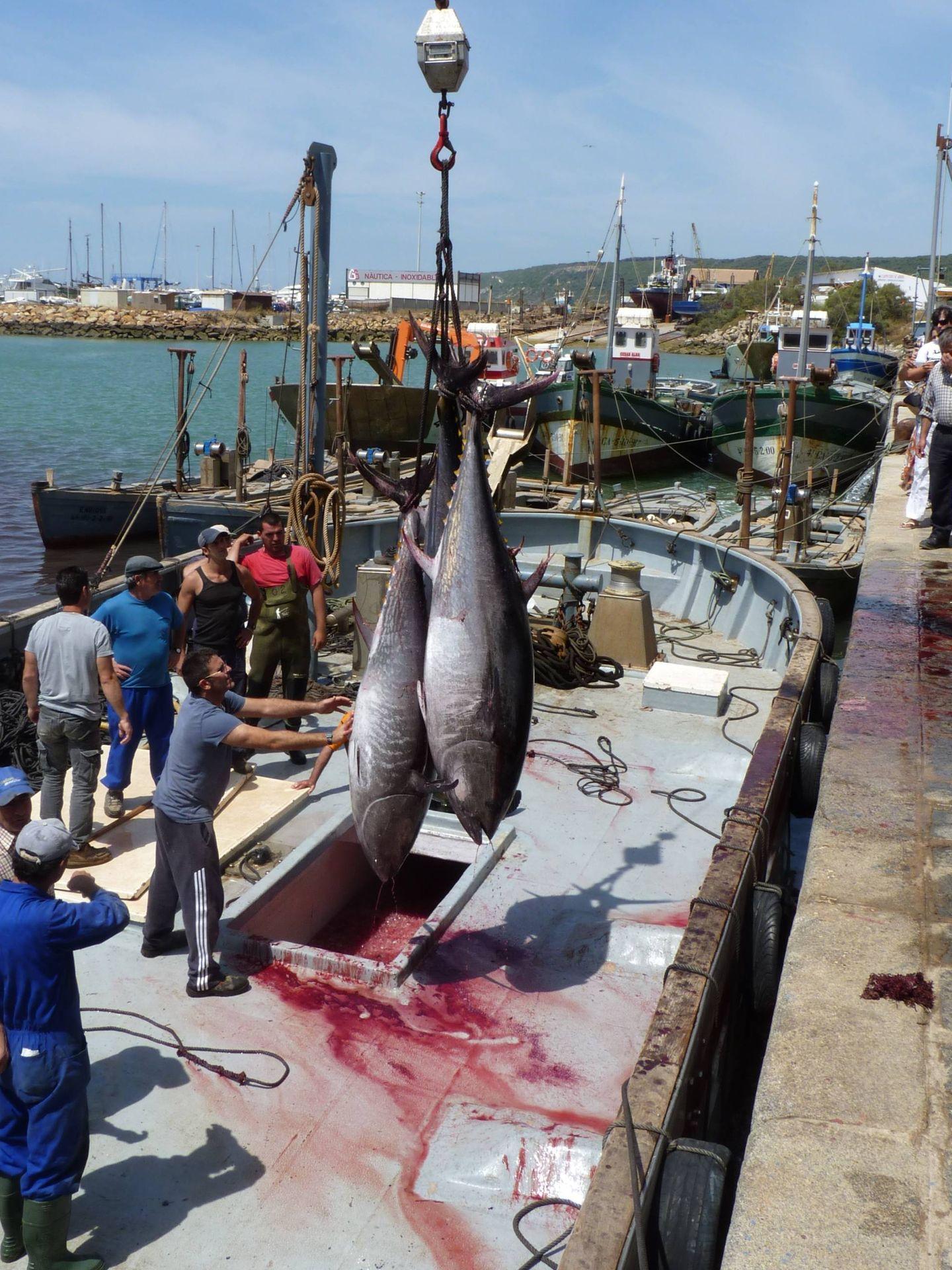 Descarga de atún rojo en Barbate tras la matanza en la almadraba. (M. García Rey / ICIJ)