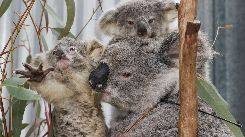 Una familia de koalas en Australia. (Reuters)