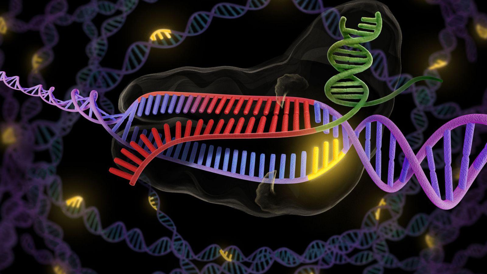 Foto: La enzima CRISPR, en verde y rojo, se une a una hebra doble de ADN, en púrpura y rojo, para así cortar la parte deseada.