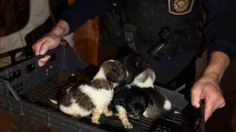 Desmantelado en Alicante un criadero de perros clandestino