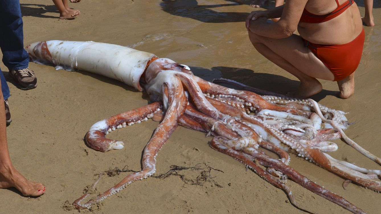 Foto: Un calamar gigante muerto en una playa de llanes