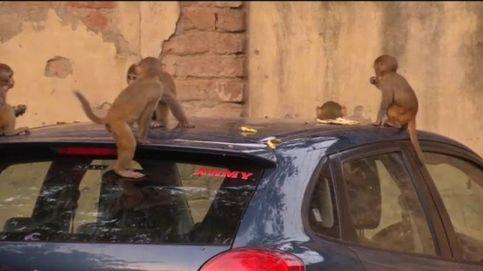Los monos 'invaden' Nueva Delhi
