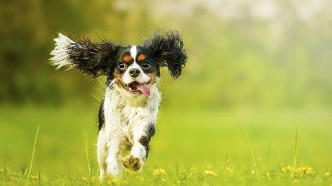 Por qué tu perro se vuelve loco de felicidad cuando llegas a casa