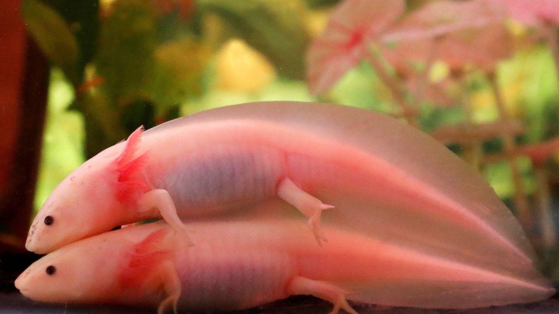 El ajolote, el extraño anfibio que es capaz de regenerar sus extremidades amputadas