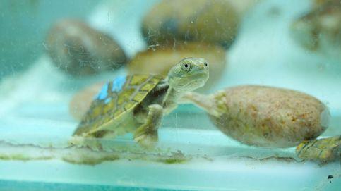 Desmantelan en Mallorca el mayor criadero ilegal de tortugas de Europa
