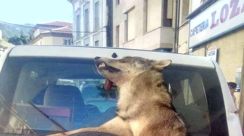 La imagen de un lobo abatido y atado en un coche oficial indigna a las redes