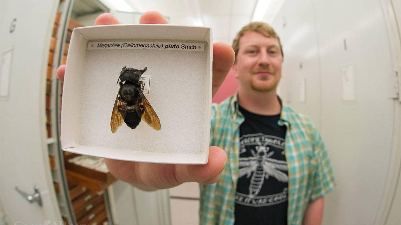 La abeja más grande del mundo, el 'bulldog volador', ha reaparecido 40 años después
