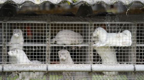 Dinamarca sacrificará 17 millones de visones por una mutación del covid-19