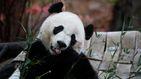 El oso panda Bei Bei vuelve a China y se reencuentra con su familia