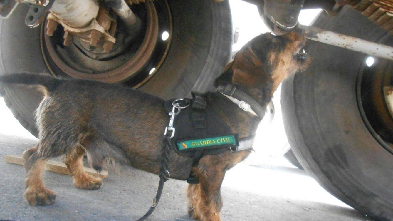 Foto: Tango, en uno de sus trabajos con la Guardia Civil de Melilla.