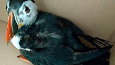 Preocupación ante el origen desconocido de cientos de aves petroleadas en las costas gallegas