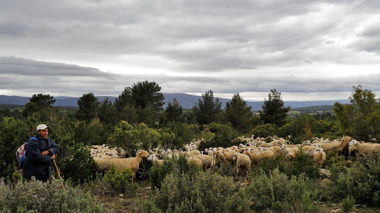 Foto: Baaddi, pastor de origen marroquí, cuida un rebaño de más de 700 ovejas en Aras de los Olmos. (Manuel Bruque/EFE)