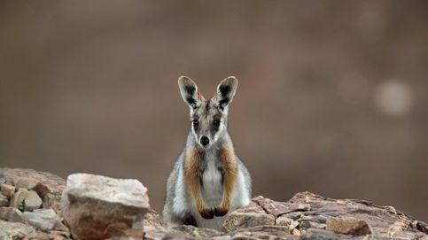 Ualabí de patas amarillas, el marsupial de las rocas