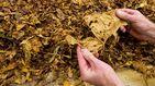 El Supremo 'legaliza' la venta de hojas de tabaco para fumar sin pagar impuestos