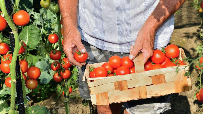 Recolección de tomates.