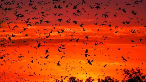 ¿Dónde surgen los coronavirus? 4.800 km de murciélagos y pangolines infectados