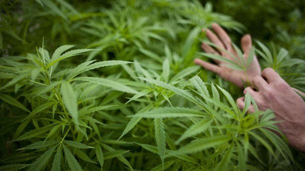Foto: Los cultivadores de marihuana ven el cielo abierto con la Ley Mordaza