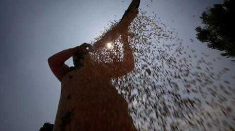 Desarrollan un arroz más sostenible y resistente a plagas