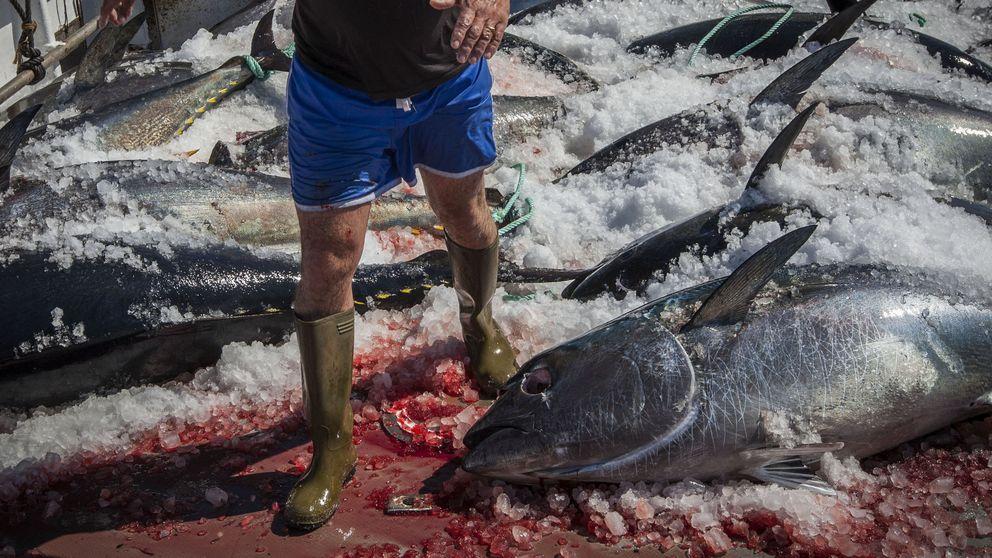 Golpe al atún rojo ilegal: redada en las lonjas de Madrid, Barcelona y Málaga