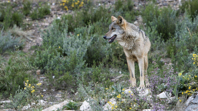 Vídeo: la llamada del lobo en la cordillera Cantábrica