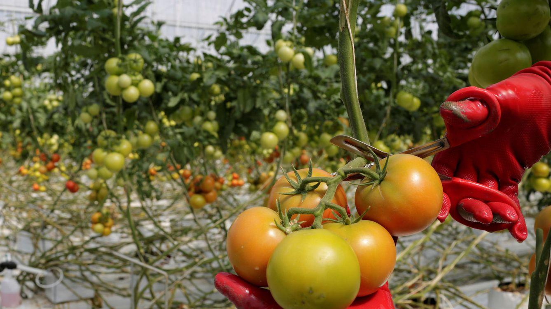 Ya puedes 'programar' tomates a tu gusto: llega el código abierto para las semillas