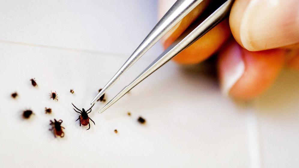 Foto: La fiebre hemorrágica es transmitida por la picadura de la garrapata (Efe).