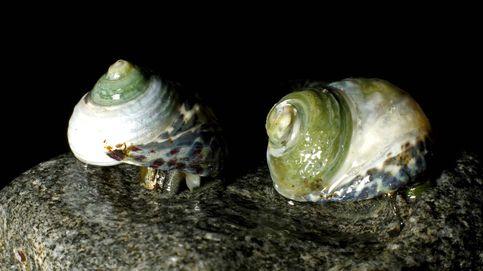 El veneno de caracol, clave para combatir el dolor crónico y otras enfermedades