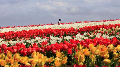 Campos de tulipanes en Tasmania