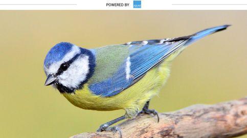 Herrerillo, el ave que destruye 24 millones de insectos al año