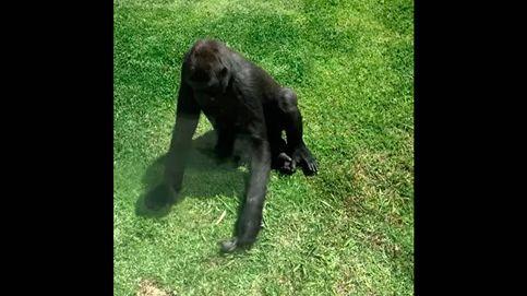 El vídeo de un gorila que trata de ayudar a un pájaro herido se hace viral