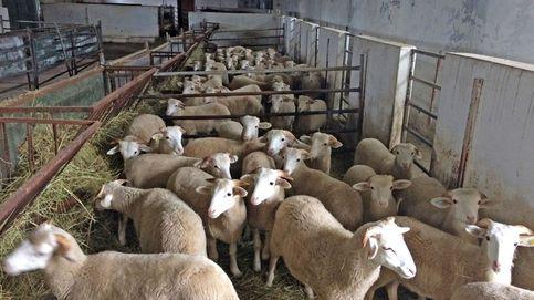 Diplomacia para vender corderos: el acuerdo con Arabia Saudí que da aire a los ganaderos
