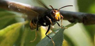 Post de Muere un hombre de 73 años tras picarle una avispa velutina en Poio (Pontevedra)