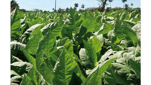 Cuba, la tierra prometida del tabaco: el por qué del éxito de sus habanos