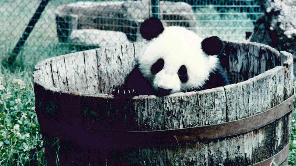 Foto: Un joven Chu-Lin jugando en el Zoo de Madrid. / Archivo fotográfico de Zoo-Aquarium de Madrid