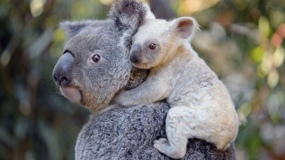 Los koalas están funcionalmente extintos: por qué solo quedan 80.000 ejemplares