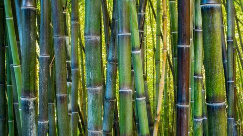 Más que un adorno, el bambú es la planta aliada de los huesos
