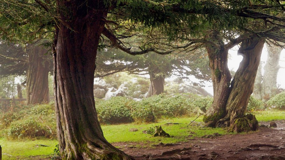 Foto: El tejo, árbol milenario que se adapta al cambio climático cambiando de sexo. (EFE)