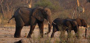 Post de Mueren 200 elefantes en Zimbawe por culpa de una sequía extrema