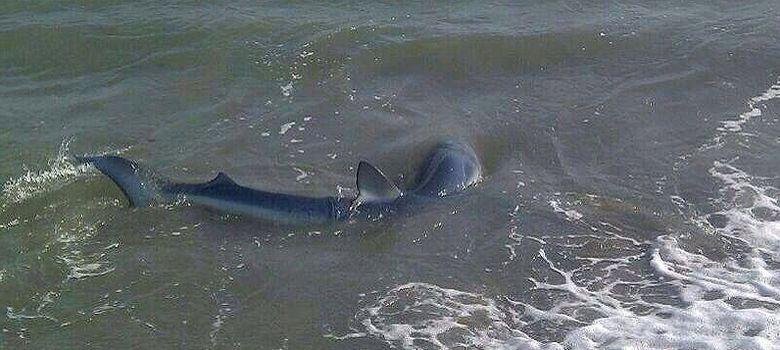 Foto: El tiburón en la playa de Guadalmina, frente al Hotel Marriott's Playa Andaluza. (EC)