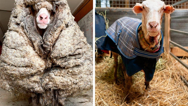 Rescatan a una oveja con 35 kilos de lana encima tras desaparecer durante 5 años