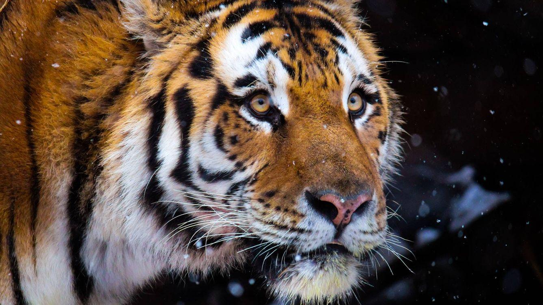 Nace una camada de tres cachorros de tigre de Amur en un parque de Escocia