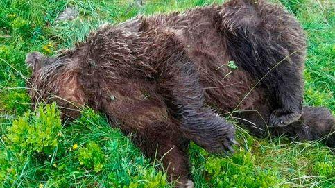 Recompensa de 10.000 € por encontrar al asesino de un oso en los Pirineos