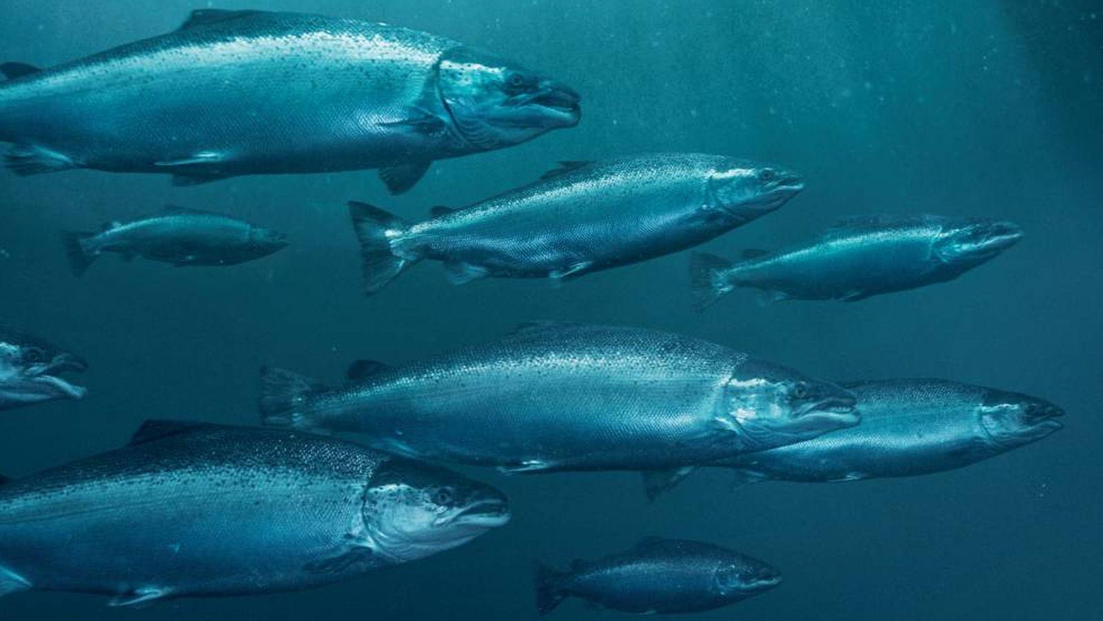 Foto: El mercurio en los peces es considerablemente mayor ahora que durante la época preindustrial.
